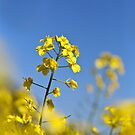 Canola Farming - Wongan Hills Western Australia by Karen Stackpole