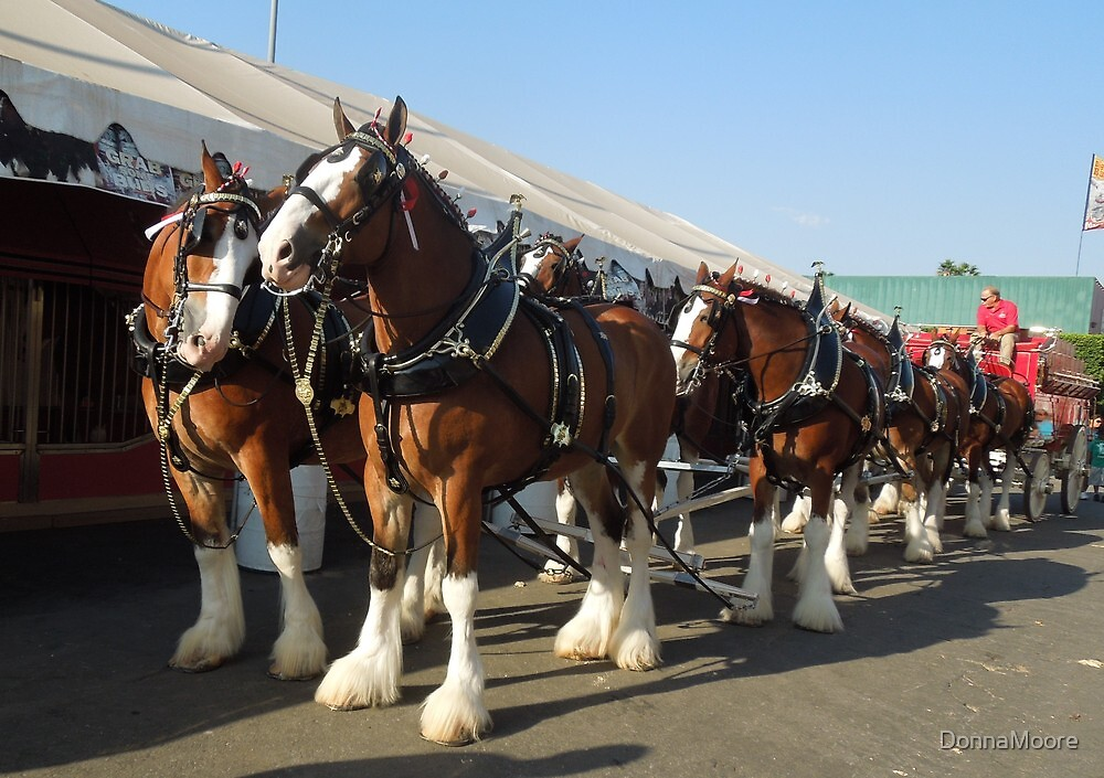The Budweiser Clydesdale horses..... by DonnaMoore