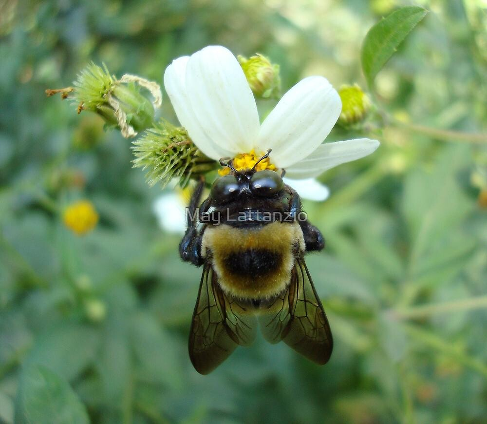 Bumblebee on Bidens alba (Spanish Needles) by May Lattanzio