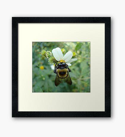 Bumblebee on Bidens alba (Spanish Needles) Framed Print