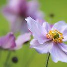 Japanese Anemone by Mihaela Limberea