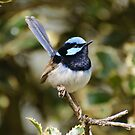 Superb Fairy Wren (male) by Dilshara Hill