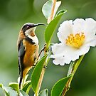 Eastern Spinebill by Dilshara Hill
