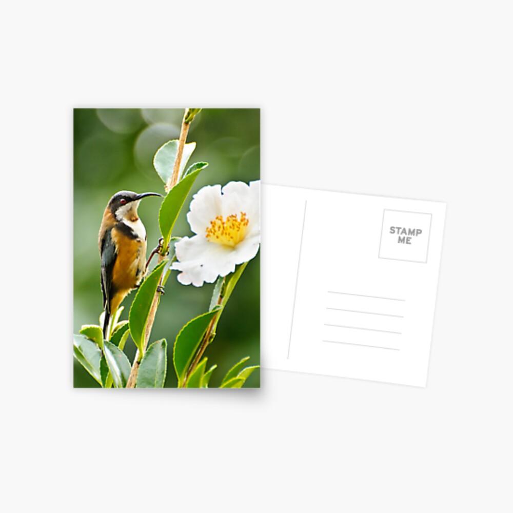Eastern Spinebill Postcard