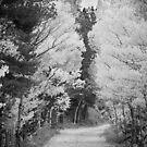 Colorado Autumn Aspen Road BW by Bo Insogna