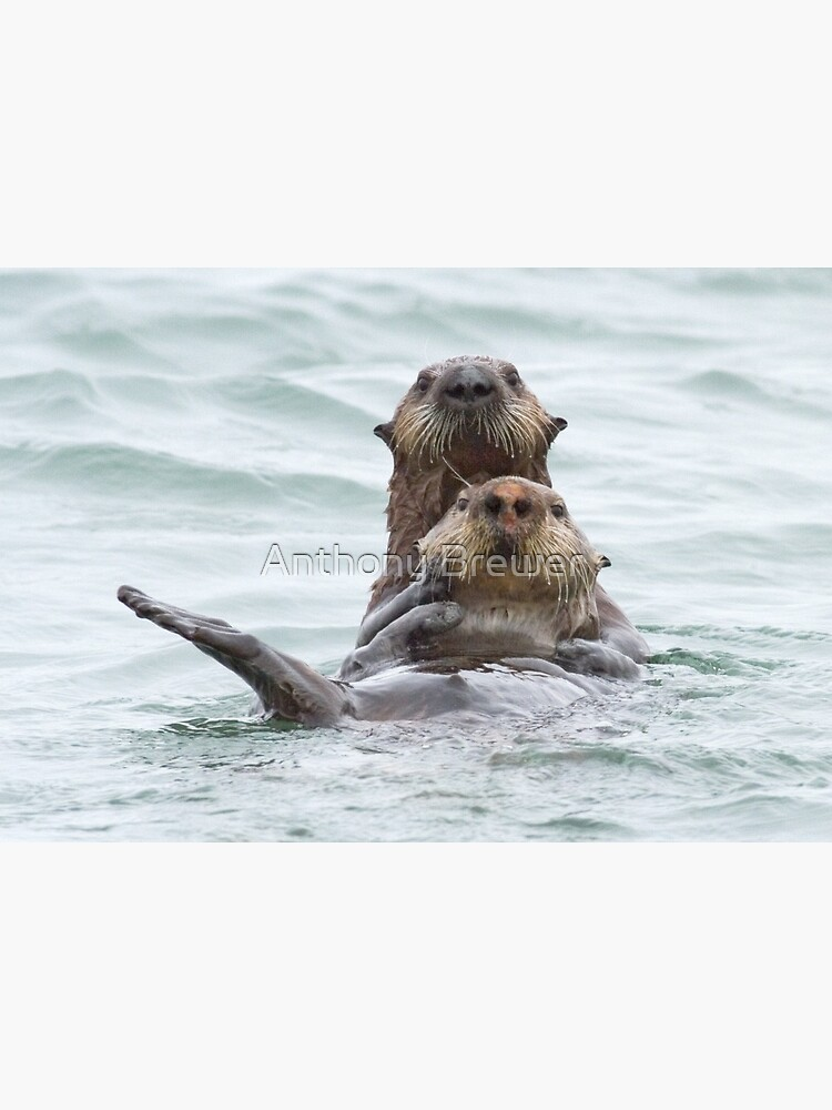 Two otters for the price of one by dailyanimals