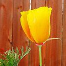 Golden Poppy by Amiteestoo