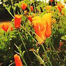 Golden Poppies by Amiteestoo