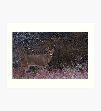 Snowy Buck - White-tailed deer Art Print