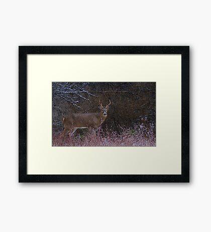 Snowy Buck - White-tailed deer Framed Print