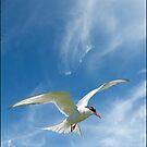 Arctic Tern by ten2eight