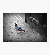 The pigeon  Photographic Print