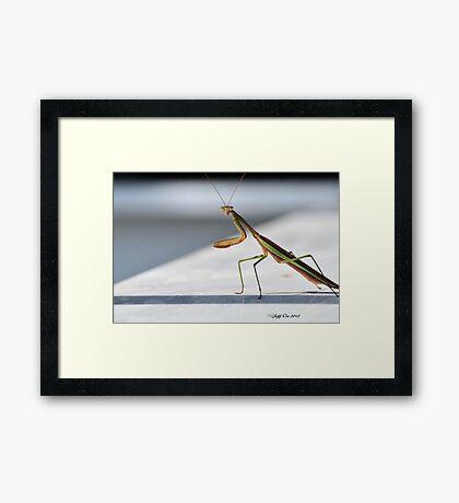 Praying Mantis Framed Print