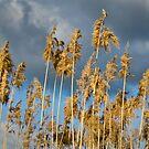 Fluffy Grass Heads by Mick Kupresanin