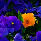 Yellow Violet Among Purple Violets by Kuzeytac