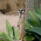 Meerkat by Emily  Redfern