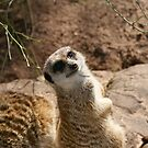 Meerkat 2 by Emily  Redfern