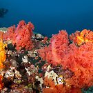 Soft coral garden by Stephen Colquitt