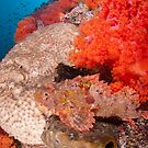 Scorpion fish on reef wall by Stephen Colquitt