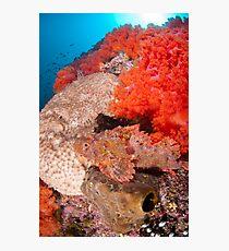 Scorpion fish on reef wall Photographic Print