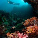 Diver in coral garden by Stephen Colquitt