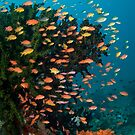 Anthias schooling in current by Stephen Colquitt