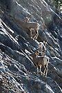 Young Bighorn Sheep  by Yukondick