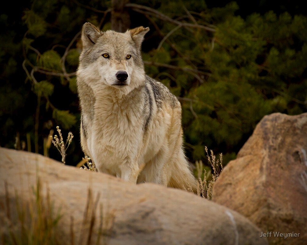 The Look Of A Hunter by Jeff Weymier