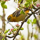 Female oriole by Penny Fawver