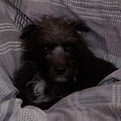 Bailey The Patterdale (Fell Terrier) by Chris Clark