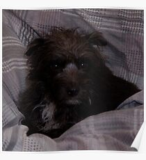 Bailey The Patterdale (Fell Terrier) Poster