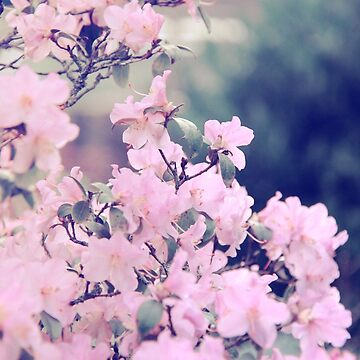 Pink Blossoms by Laracoa