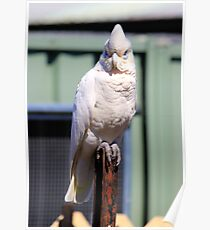 Short Billed Corella Poster