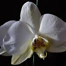 Angelic Orchid by Penny Fawver