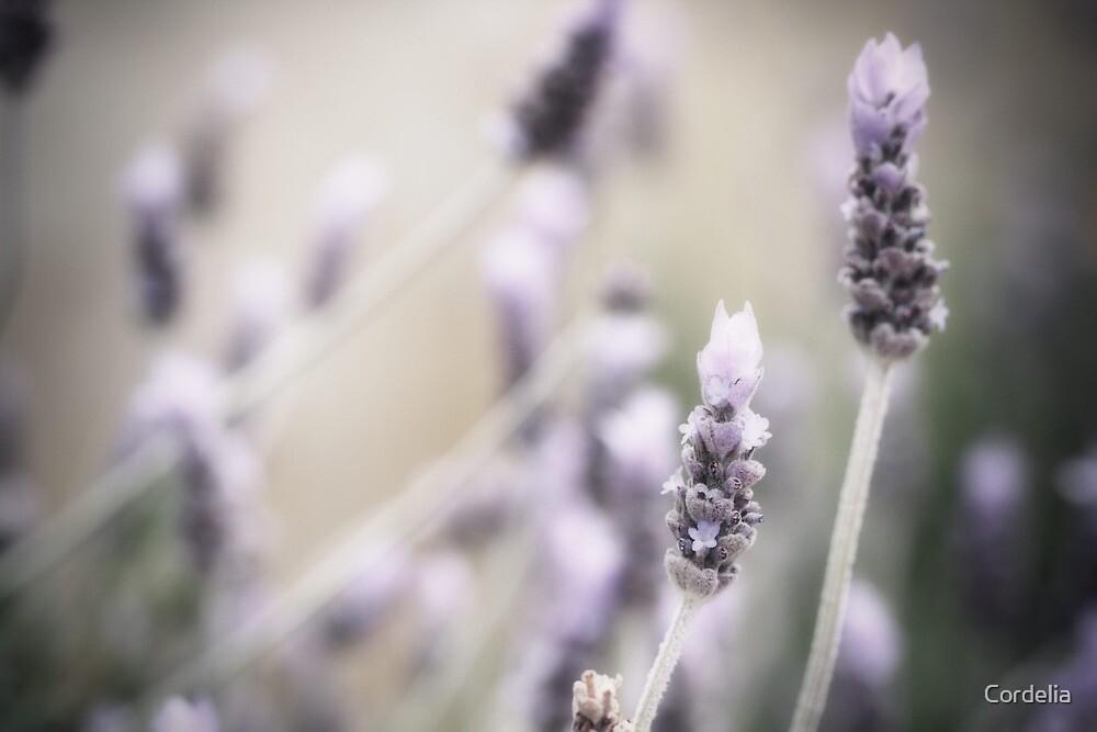 ~lavender~ by Cordelia