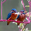 Kingfisher by 7-2521
