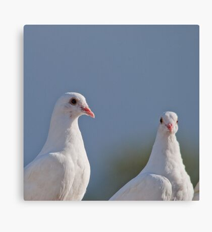 Fantailed Doves Canvas Print