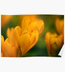 Yellow Crocuses With Rain Drops Poster