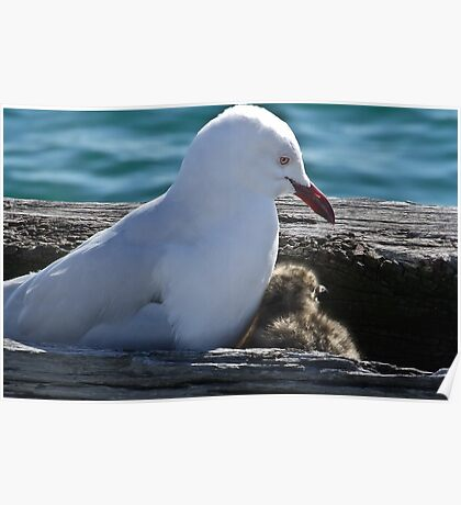Silver Gull and Baby Poster
