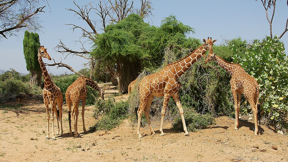 Reticulated Giraffes by roger smith