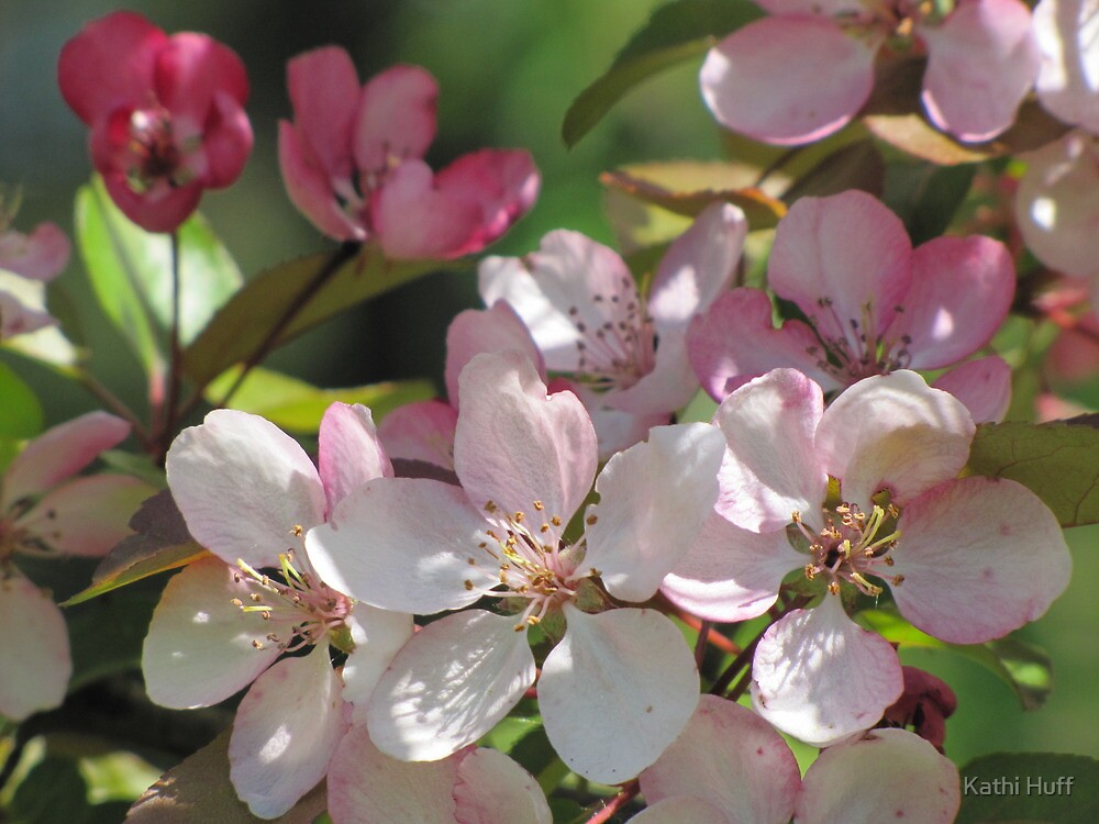 Apple Blossom by Kathi Huff
