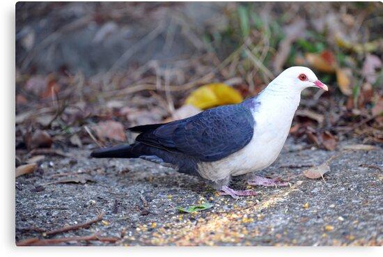 White Headed Pigeon. Cedar Creek, Qld, Australia. by Ralph de Zilva