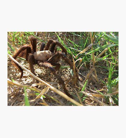 Desert Tarantula~ Morning Stroll  Photographic Print