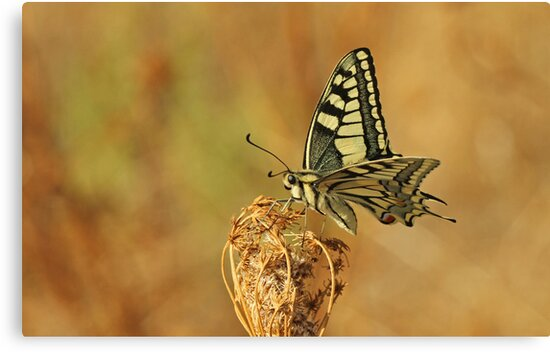 Swallowtail - Late Afternoon Light by Robert Abraham