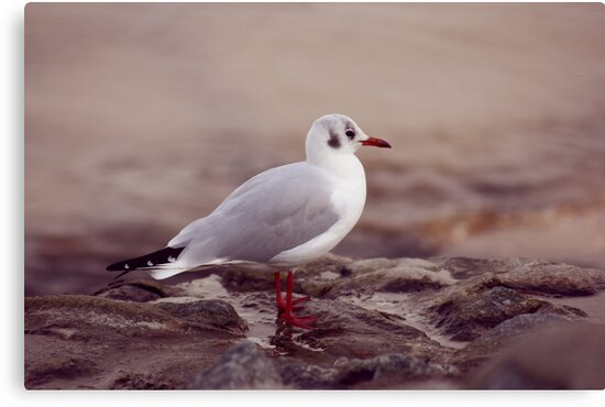 Seagull by syoung-photo