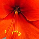 Amaryllis  by Penny Fawver