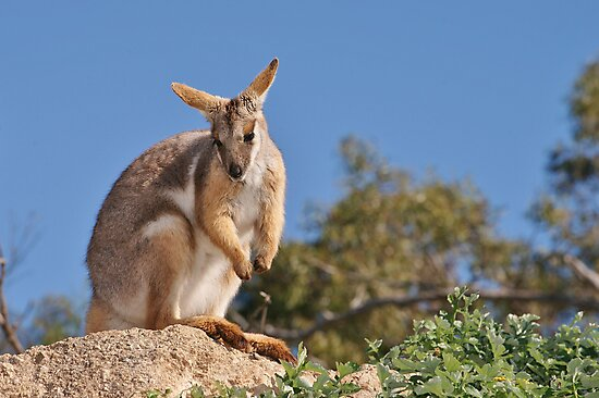 Yellow-footed Rock-wallaby by roger smith