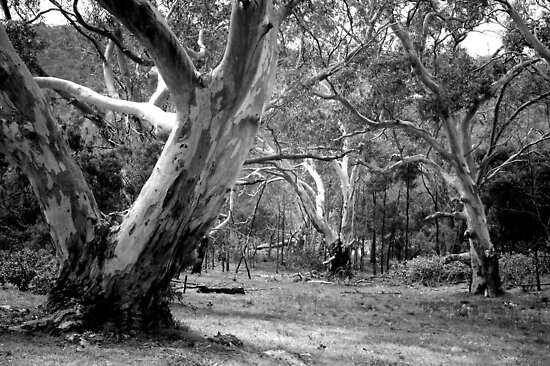 River Red Gums. by Bette Devine
