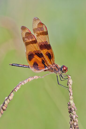 Halloween Pennant at Lacassine by Bonnie T.  Barry