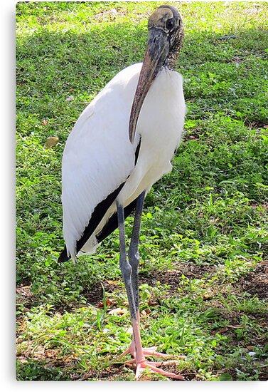 Wood Stork, Full Body  by AuntDot